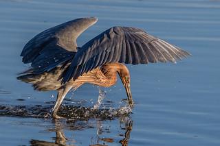 Reddish Egret Caught a Fish