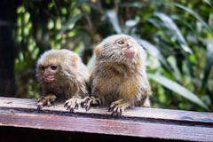 Scimmie pigmee