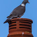 Pigeon on Chimney Pot