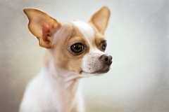 Bella (Le Pitch Photo) Tags: portrait dog chihuahua animal puppy 50mm nikon lastolite