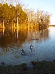 Sundown at Long Run Park (EX22218) Tags: blue trees light sunset orange sun water gold geese flickr sundown kentucky louisville waterfowl flickrsbest longrunpark