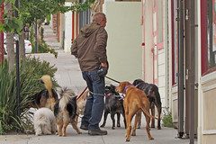 Man walking several dogs San Bruno Ave San Francisco's Portola District 120622-102408 C4 (Wambeke & Wambeke Photography, Art, & Textiles) Tags: dogs dogwalker severaldogs charliewambekephotography canonsx30photograph manwalkingseveraldogs manwalkingseverdogs