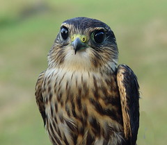 Merlin (helmutnc) Tags: hg sweetfreedom specanimal hennysanimals