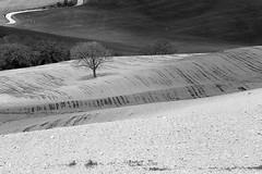 Val d'Orcia (vito.nobile) Tags: bw italia italu bn tuscany toscana valdorcia albero paesaggi prato paesaggio