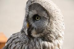 Owl (Barrytaxi) Tags: photoblog photoaday 365