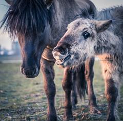 Because I'm happy (Ingeborg Ruyken) Tags: morning water smiling sunrise happy dawn flickr nederland thenetherlands lachen denbosch dropbox ochtend shertogenbosch paard noordbrabant blij konik zonsopkomst natuurfotografie diezemonding 500pxs