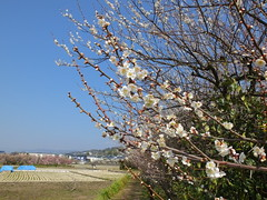16i5313 (kimagurenote) Tags: apricot ume 梅 japaneseapricot ウメ prunusmume sogabairin 曽我梅林 神奈川県小田原市 odawarakanagawa