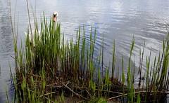Verstopt/Hidden (truus1949) Tags: water wandelen natuur almerebuiten