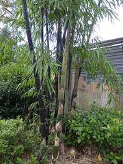 Bambusa lako (Timor Black Bamboo) with big new shoots (tanetahi) Tags: black brisbane bombs botanicgardens mtcoottha bambusalako timorblack blackculms timoreseblackbamboo
