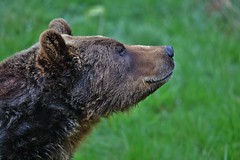 I smell something (Hugo von Schreck) Tags: bear animal outdoor tier br tamronsp150600mmf563divcusda011 canoneos5dsr hugovonschreck