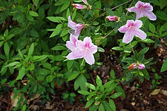 Pinks: Dotted and Spotted (Herculeus.) Tags: pink flowers usa plant flower landscape outside outdoors nc spring outdoor blossoms northcarolina flowersplants