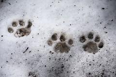 Big Cat Snow Day (San Diego Zoo Global) Tags: cats snow nature weather animals sandiego wildlife bigcat sandiegozoo bigcats snowday enrichment sandiegozooglobal