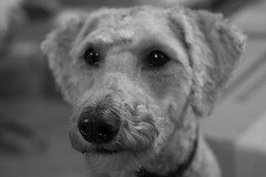 Harry, in B&W. 22 (EOS) (Mega-Magpie) Tags: bw usa dog white black cute monochrome america canon eos mono illinois harry dupage il poodle 60d