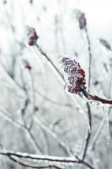 Frozen (laurencharman) Tags: winter snow ice nature hamilton sumac dundas wildfood foraging
