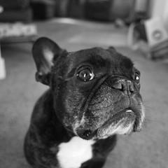 04-04-16 (2353) Sad Mug (Lainey1) Tags: bw dog monochrome oz bulldog frenchie frenchbulldog 365 ricoh ricohgr ozzy frogdog 040416 2353 lainey1 zendog elainedudzinski ozzythefrenchie theseventhyear 2353oz
