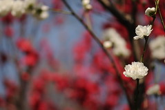 Sakura (桜) (mrsjohnketta) Tags: park flower macro green primavera nature colors up japan cherry tokyo spring nikon shinjuku close blossom happiness 桜 日本 sakura 東京 nikkor fiore 自然 hanami 春 d300 105mm 花見 ciliegi