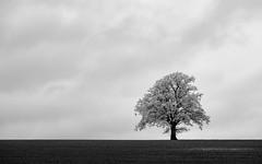 A new friend (thefattaff) Tags: tree lonetree llangovan