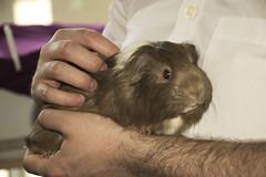 Los conejillos #1 (palm z) Tags: france reims francia mascota mascotas indias conejillo conejillos