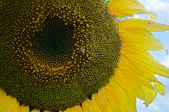 Sunflower and friend :-) (Jurek.P) Tags: flowers plant flower nature insects sunflower jurekp sonya500