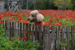 Jack by the fance of the Castroville Poppy Garden (stevenpng) Tags: texas redflowers castroville poodledog papaveraceae redpoppies bluehours nikond810 theredpoppy capturenx2 redpapaver nikkor105mmf28gmacro nikongp1 flowerofremembrance symbolofdeathrenewalnlife amgelostreet historicbarmhouse texasredpoppyflowersield kingofpoodle