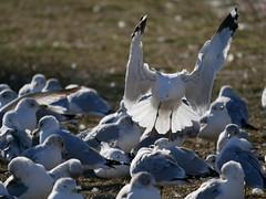 P1010585 (smrphotography871) Tags: leica ohio birds cincinnati panasonic newark 100400 lumx gx80 gx85 rs100400