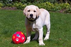 AP16-9531 Buddy en de snoepjesbal (Jan-Willem Adams) Tags: dog netherlands puppy labrador nederland buddy gelderland garderen honden zonneland fordjw janwillemadams adamsphotography