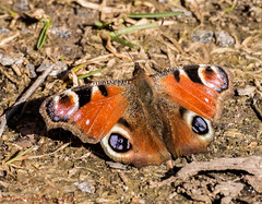 First Butterfly of 2016 (Timo Halonen) Tags: finland nikon peacock io mariposa farfalla sommerfugl vlinder neitoperhonen dx papillion aglais fjril laihia ostrobothnia liblikas tagfalter nikkorafs70300mmf4556gvr d5200 isokyl pivperhonen