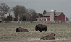 Buffalo, Fermilab. 1 (EOS) (Mega-Magpie) Tags: red usa field grass barn america canon outdoors eos illinois buffalo outdoor dupage il batavia kane fermilab winfield bison 60d