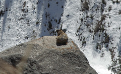 marmot in Ala Archa (kulpinskybirds) Tags: mountains kyrgyzstan marmots