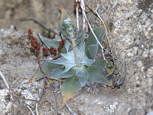 Arizona Chalk Dudleya (Dudleya arizonica), Tierra Blanca Mountains, Anza-Borrego Desert, CA, 3-19-16