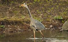 Graureiher (rieblinga) Tags: park leica fisch teich raubvogel frühling r8 fischreiher graureiher futtersuche