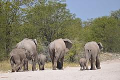 an elephantic family (pmsoftware) Tags: africa nikon elephants namibia etosha d610
