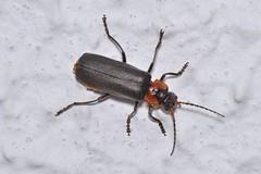 Cantharis (Cantharis) fusca Linnaeus, 1758 (Jess Tizn Taracido) Tags: coleoptera cantharidae elateroidea cantharisfusca polyphaga elateriformia cantharinae cantharini