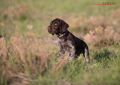 Blazer Quarter Angle - 7 Weeks (Fly to Water) Tags: dog male field puppy photography hunting professional breed sporting liver roan deutsch drahthaar draht verein vdd
