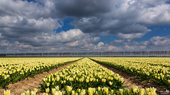 So many Tulips (BraCom (Bram)) Tags: flowers trees cloud holland netherlands clouds canon spring bomen tulips widescreen nederland wolken sunny nl dijk 169 lente dike bloemen stellendam tulpen wolk zuidholland goereeoverflakkee voorjaar zonnig southholland canonef24105mm goldcollection bracom canoneos5dmkiii bramvanbroekhoven