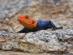 Namibian Rock Agama Lizard (anacm.silva) Tags: africa wild naturaleza nature reptile wildlife natureza lizard rptil namibia lagarto frica agamalizard erongo nambia erongowildernesslodge erongomountainnatureconservancy namibianrockagamalizard
