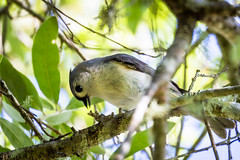 Yummo (Lallee) Tags: bird canon eating tuftedtitmouse