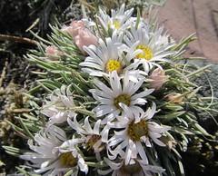 "Wild Flower.  ""Early Townsendia""  Montana (montanatom1950) Tags: flowers montana helena wildflower helenamontana"