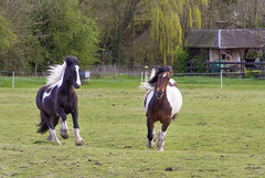 IMG_1235 (Kev Gregory (General)) Tags: horse dog pets fun happy play woo chase gregory kev canter gallop trixi