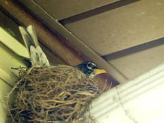 P4272062.jpg (MizGingerSnaps) Tags: usa birds virginia spring robins april williamsburg 2016 robinsnest intheyard