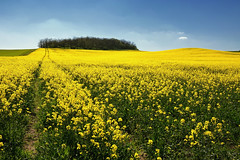 D71_6397A (vkalivoda) Tags: field yellow landscape outdoor pole fields moravia morava krajina žlutá