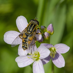 Hoverfly / Pendelvlieg / Helophilus sp. (Greeney5) Tags: insect fly insects hoverfly insecten syrphidae ladyssmock diptera vlieg cardamine cardaminepratensis cuckooflower pinksterbloem zweefvlieg helophilus pendelvlieg