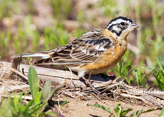 Smith's Longspur (Stoil Ivanov) Tags: smiths longspur pictus calcariuspictus calcarius