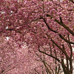 Pink! (gwiwer) Tags: pink square bonn rosa explore cherryblossom altstadt cherrytrees kirschblte kirschbume heerstrase breitestrase