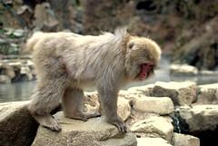 Posing time (Kyle Horner) Tags: japanesemacaque kanbayashi snowmonkeyresorts