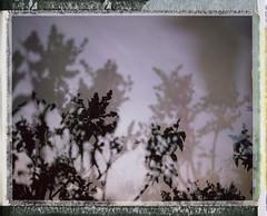 Penumbra 1 (Joann Edmonds) Tags: pink trees film nature polaroid outdoors soft doubleexposure pastel branches lilac instant fujifilm dreamy expired dreamscape packfilm 2011 polaroidweek fp100c messyborders roidweek peelapartfilm polaroidland450