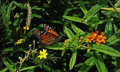 Monarch Caterpillar & Butterfly on Butterflyweed (MyFoto:)) Tags: leica plant nature butterfly insect virginia native wildlife caterpillar host endangered migration milkweed metamorphosis danaus plexippus midatlantic asclepias butterflyweed tuberosa mastergardeners