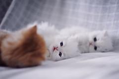 trio (koolandgang) Tags: pet baby animal cat 50mm persian kitten feline kitty indoor chinchilla trio triple kedi babycat miou pisipisi nikon50mmf14 irankedisi nikond700 kedici