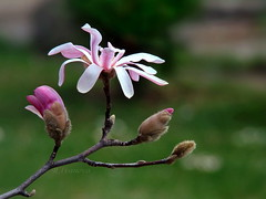 Magnolia (R_Ivanova) Tags: pink flowers white plant flower green nature garden spring sony magnolia     rivanova