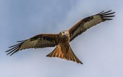 The glide (davidrhall1234) Tags: bird nature birds nikon wildlife raptor birdsofprey redkite wildlifetrust harewood rspb birdsofbritain nikond7100